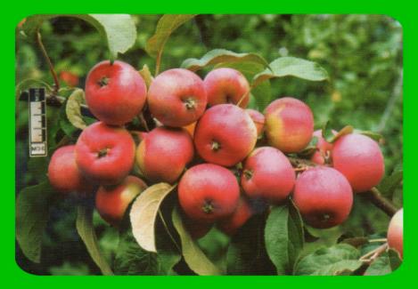 Сорт яблони осенняя радость - мыдачники