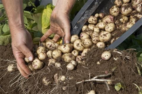 Рассада картофеля из семян: когда сажать в 2021, как вырастить |