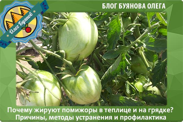 Что делать если помидоры жируют в теплице