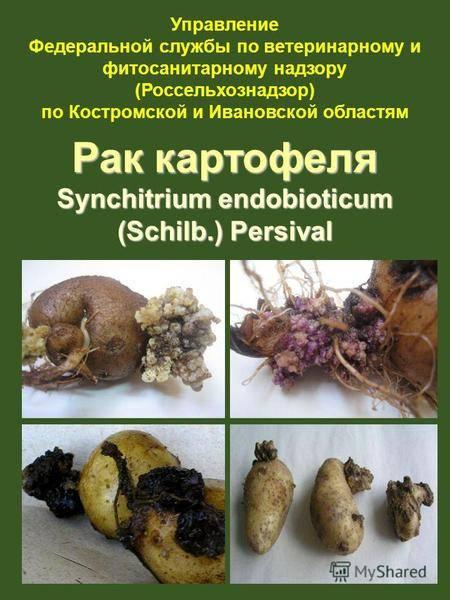 Рак картофеля: симптомы болезни, методы профилактики и борьбы