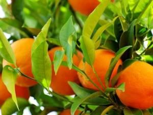 Апельсин— польза и вред, как и сколько можно его употреблять