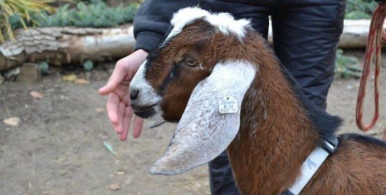 Англо-нубийские козы: описание породы, содержание и уход