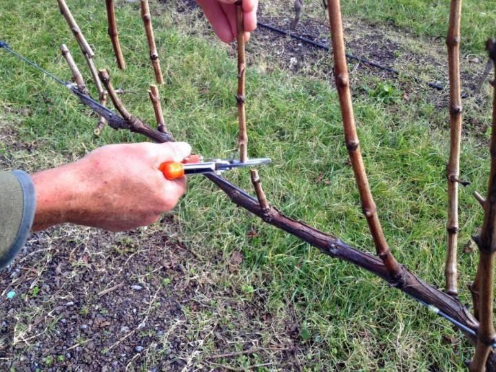 Когда и как обрезать малину, чтобы был хороший урожай: технологии обрезки весной и осенью