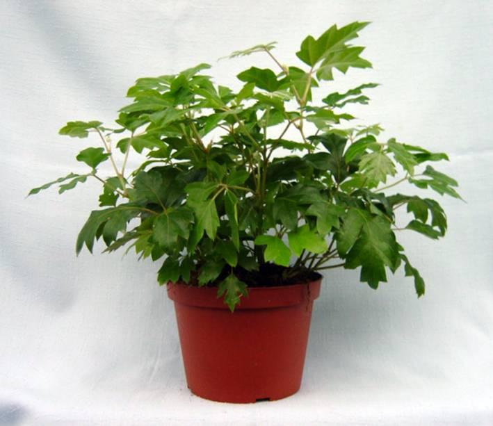 Комнатный виноград - растение фото, описание и инструкция по уходу