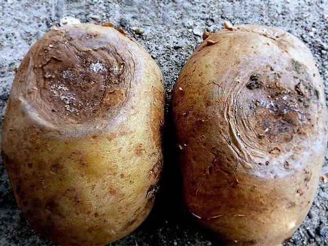 Сухая, мокрая и другие картофельные гнили – методы борьбы