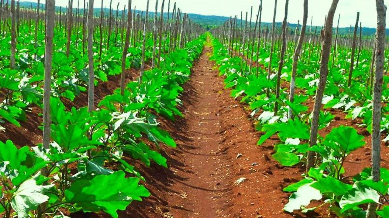 Как сажать баклажаны рассадой и семенами в открытый грунт