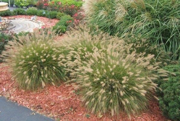 Пеннисетум лисохвостный, восточный, мохнатый, щетинистый, сизый: посадка и уход + применение в ландшафтном дизайне