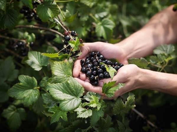 Чем удобрять смородину осенью, чтобы был хороший урожай на следующий год