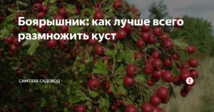 Размножение боярышника - блог фермера
