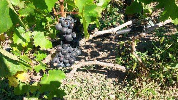 Виноград: польза и вред для организма - medical insider