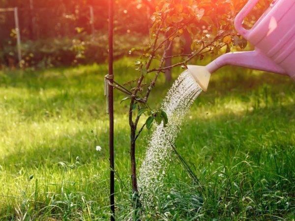 Подкормка яблонь весной до цветения: советы, рецепты, видео