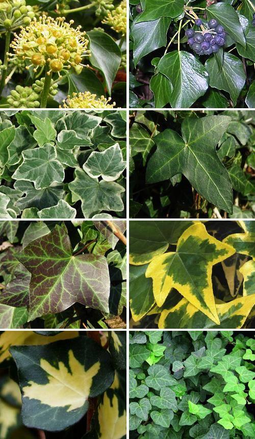 Плющ: описание растения и особенности выращивания