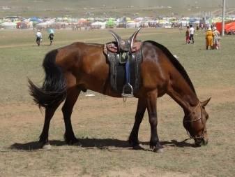 Происхождение и экстерьер монгольской лошади 2021