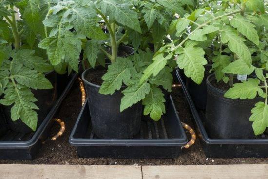 Что делать, если рассада помидоров сильно вытянулась и очень тонкая – бледная, сразу после всходов