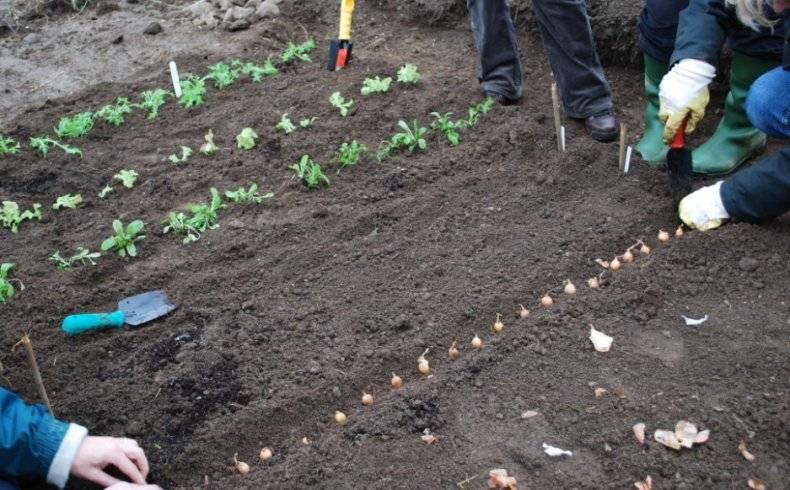 Когда и как сажать лук под зиму в 2020 на урале, в сибири, какой сорт посадить