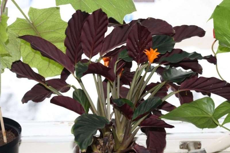 Посадка и выращивание калатеи в домашних условиях: как ухаживать, поливать