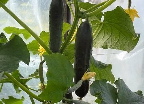 Огурцы «емеля f1»: характеристика сорта и особенности выращивания