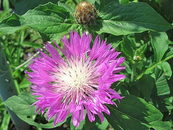 Василек горный: описание растения, размножение, посадка