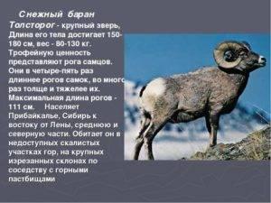 Снежный баран — описание, среда обитания, образ жизни   zdavnews.ru