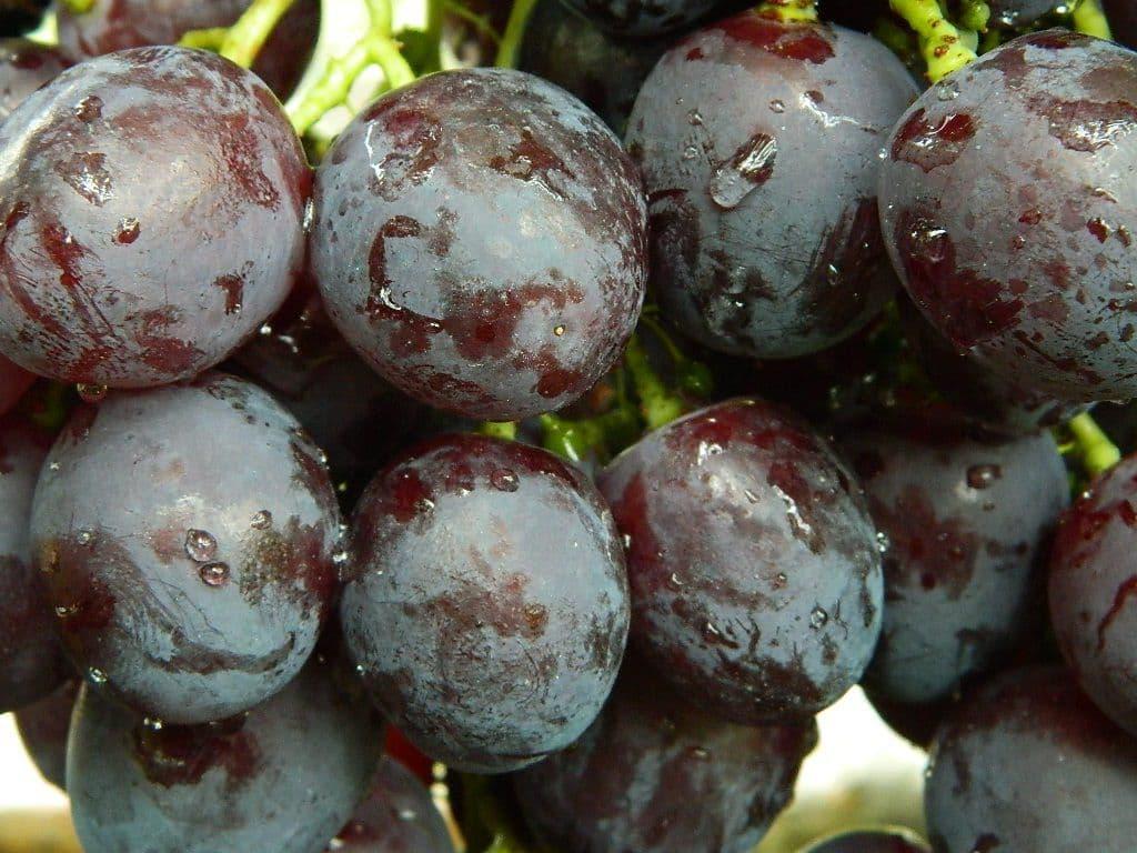 Виноград рошфор: описание сорта, выращивание и уход