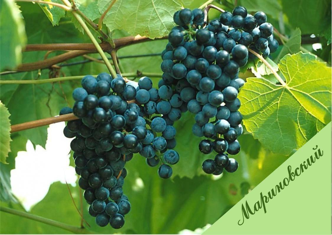 Неукрывные сорта винограда: амурские гибриды. выбираем сорта для посадки на дачу на supersadovnik.ru