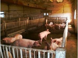 Сколько живут свиньи и от чего зависит срок их жизни