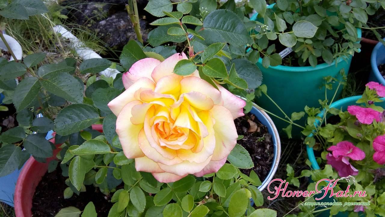 Как правильно сажать розы осенью в грунт с открытой корневой системой, когда можно