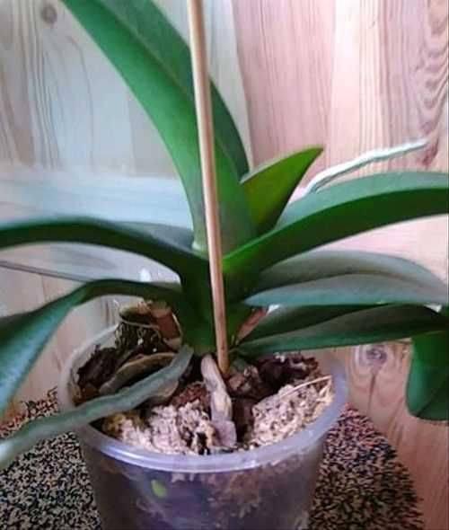 Фаленопсис мини - миниатюрные орхидеи: уход в домашних условиях после магазина и их фото