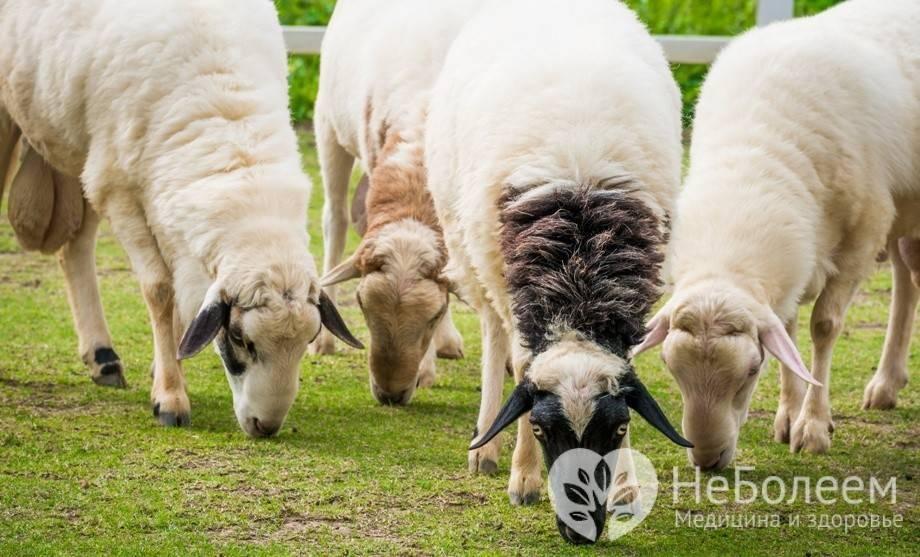 Применение и польза овечьего молока