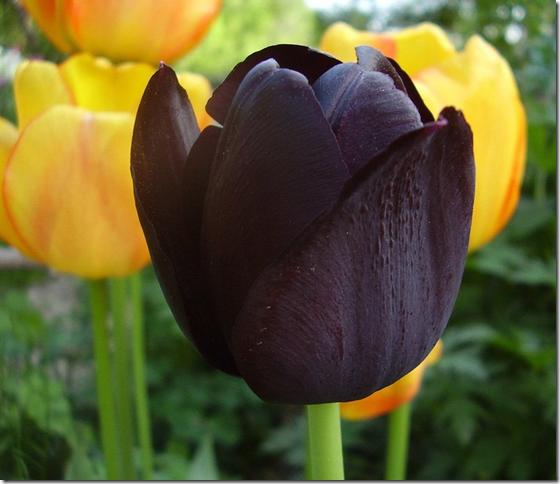 Черные тюльпаны (44 фото): история выведения темных сортов, посадка и уход