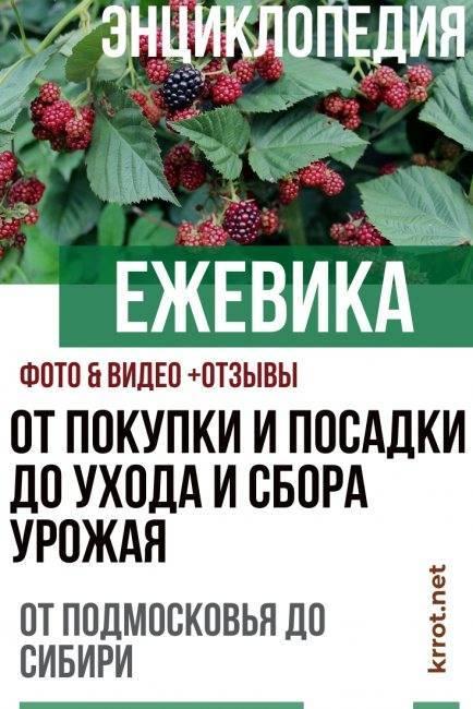 Ежевика торнлесс эвергрин