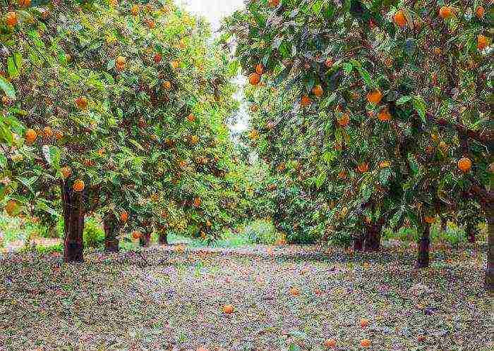 Как вырастить апельсиновое дерево в домашних условиях - pahistahis.ru