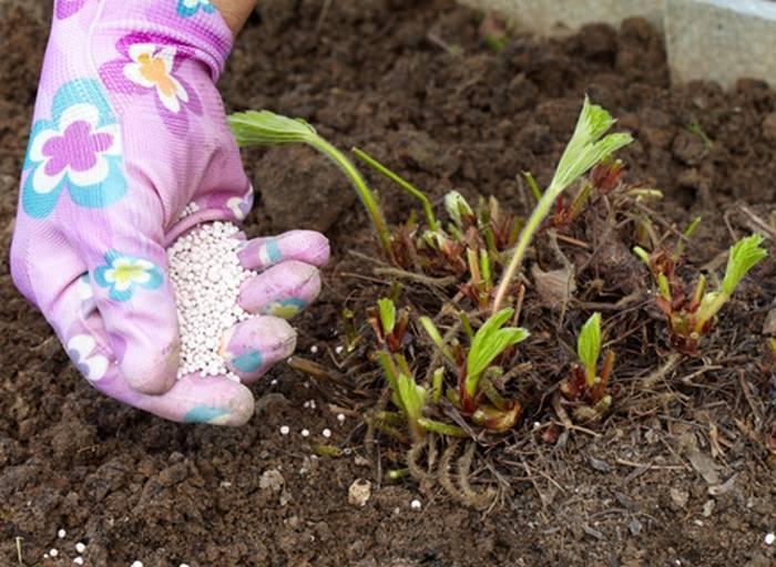 Чем подкармливать клубнику осенью после обрезки для лучшего урожая: фото
