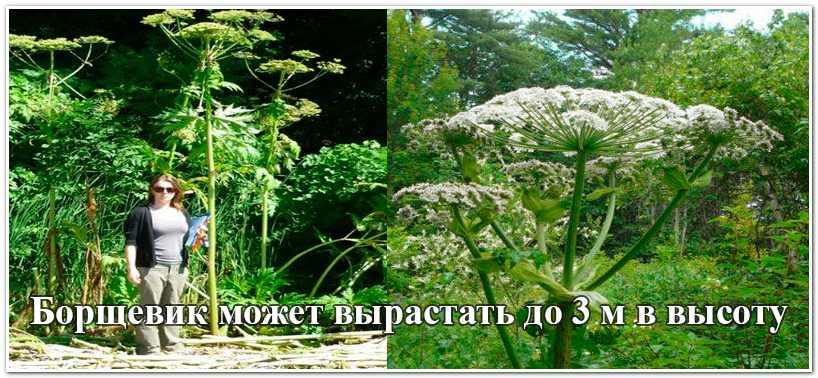 Трава борщевик: виды растения и как с ним бороться
