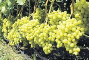 Сорт винограда лора, входящий в топ самых урожайных и вкусных