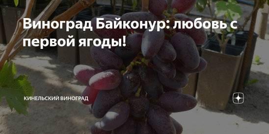 Кинельский виноград - лучшие сорта: выбор, посадка, уход