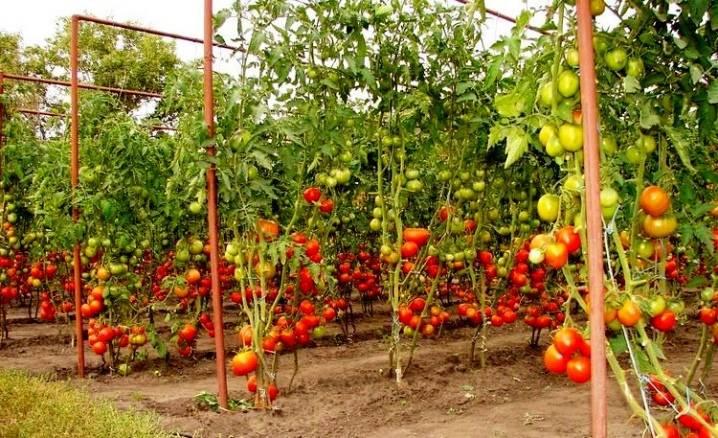 Подвязка помидор в теплице и открытом грунте: оригинальные и необычные способы