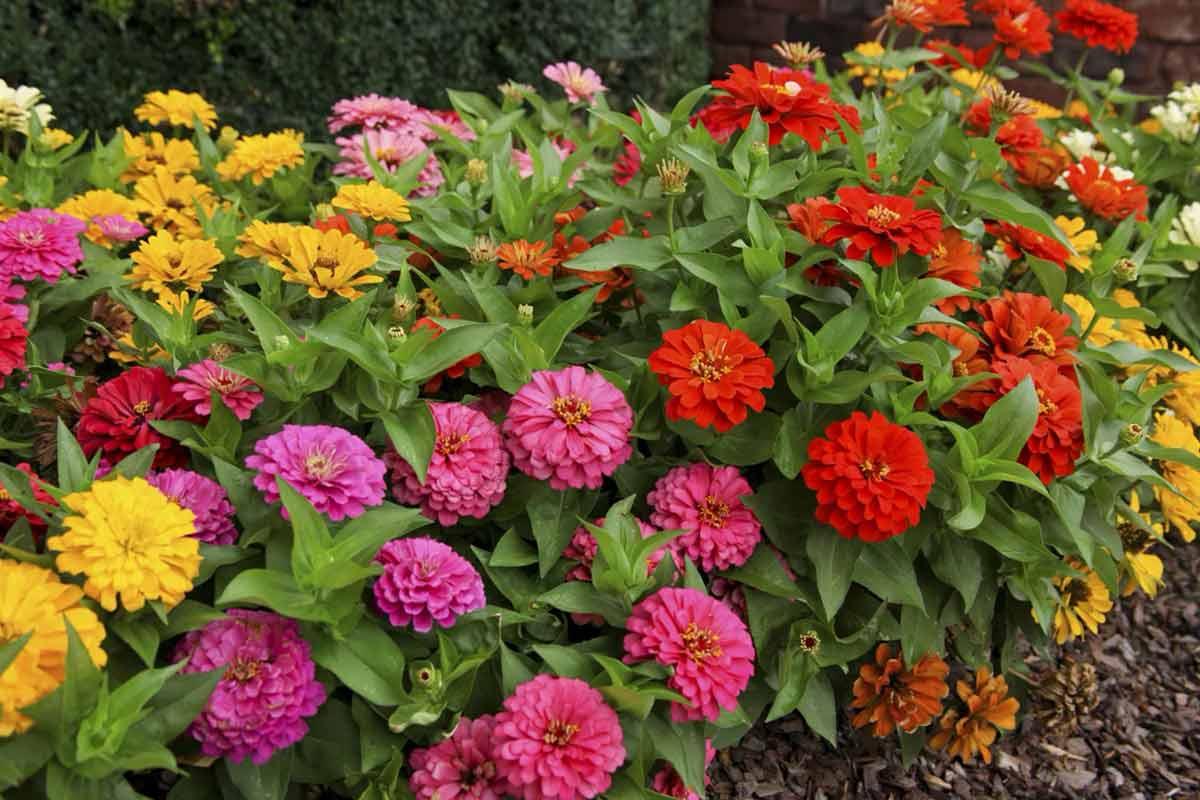 Цветы «Циния» для сада: сорта с фото и описанием, посадка и уход