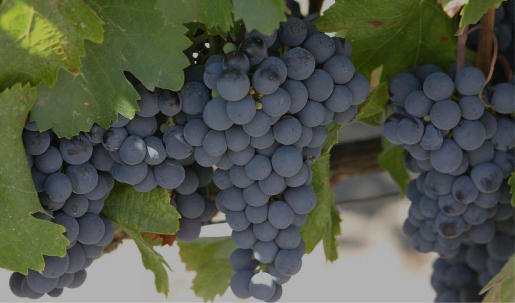 Американский виноград изабелла