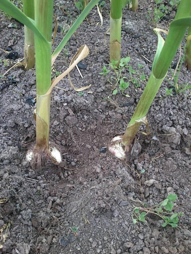 Как правильно отгребать землю от чеснока