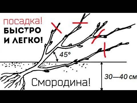 Посадка смородины осенью: как и когда лучше садить смородиновый куст? советы профессионалов по правильному выращиванию смородины (115 фото)