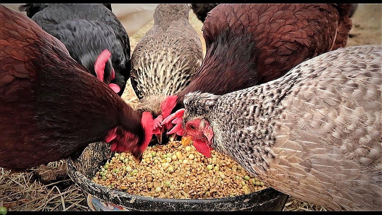 Яйценоскость кур: как повысить в зимнее время в домашних условиях