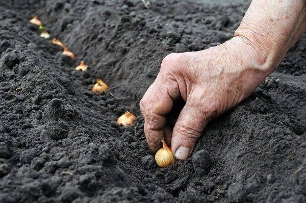 Как подготовить лук севок к посадке в открытый грунт весной: правила обработки