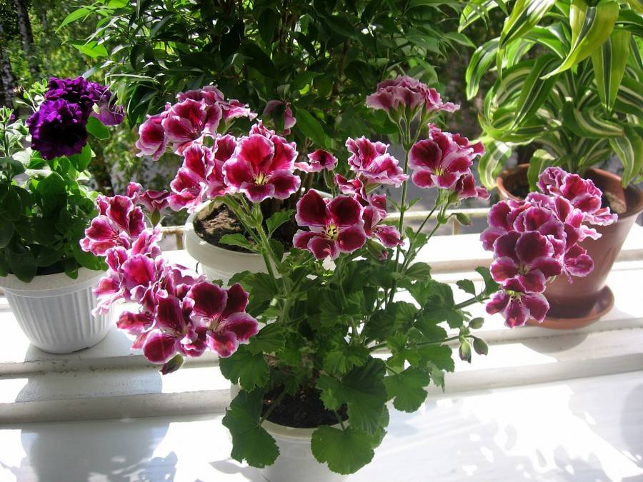 Пеларгония королевская: уход в домашних условиях с фото