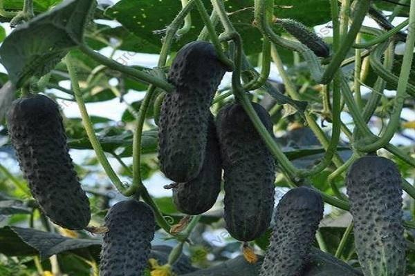 Огурец лютояр: особенности, советов по посадке и уходу