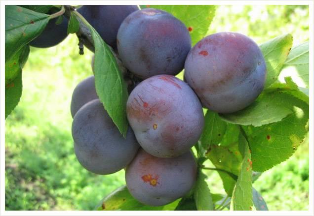 Слива ренклод колхозный: описание сорта, особенности посадки и ухода