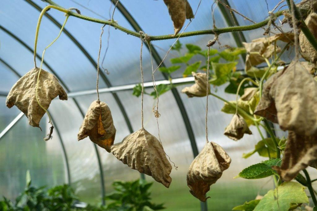 Причины увядания плети у кустовых огурцов