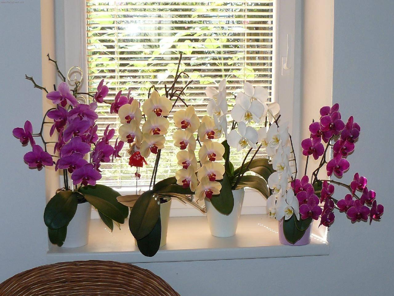 Все об орхидеях фаленопсис в домашних условиях: описание, фото и картинки цветов, цена и как их правильно выбрать, а также отзывы и новое видео 2016 и 2017 годов