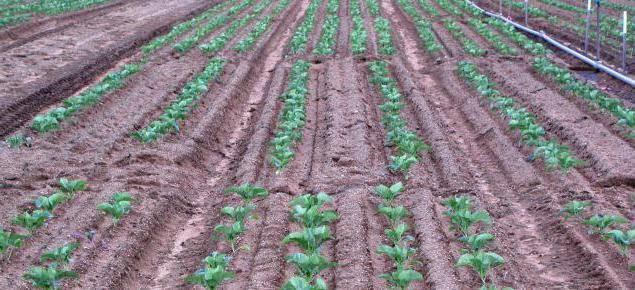 Урожайность картофеля с 1 га в россии и мире – анализ