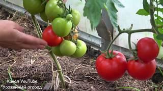 Томат таис характеристика и описание сорта урожайность с фото